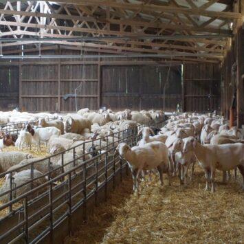 Amy, Balu und 1000 Schafe